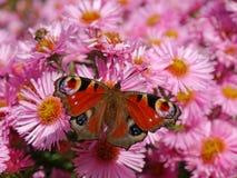 Europejski pawi motyl na asterach Fotografia Royalty Free