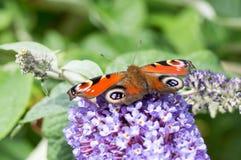 Europejski Pawi motyl na Buddleia kwiacie Zdjęcia Royalty Free