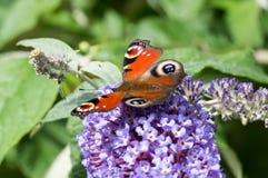 Europejski Pawi motyl na Buddleia kwiacie Obraz Royalty Free