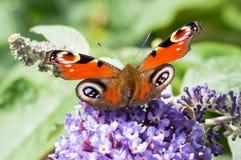 Europejski Pawi motyl na Buddleia kwiacie Zdjęcia Stock