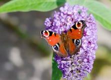 Europejski Pawi motyl na Buddleia kwiacie Obrazy Royalty Free
