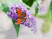 Europejski Pawi motyl na Buddleia kwiacie Obrazy Stock