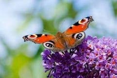 Europejski Pawi motyl na Buddleia kwiacie Fotografia Stock
