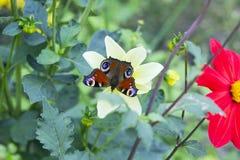 Europejski pawi motyl na dalia kwiacie, odgórny widok Zdjęcie Stock