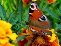 Europejski Pawi motyl na nagietka kwiacie Fotografia Stock
