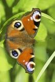 Europejski Pawi motyl w naturalnym siedlisku, Inachis/io Obrazy Stock