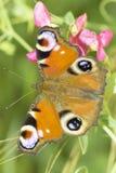 Europejski Pawi motyl w naturalnym siedlisku, Inachis/io Zdjęcia Stock