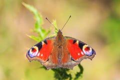 Europejski Pawiego motyla Aglais io karmienie Fotografia Royalty Free