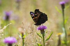Europejski Pawiego motyla Aglais io karmienie Zdjęcia Stock