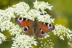 Europejski Pawiego motyla Aglais io karmienie Obrazy Royalty Free