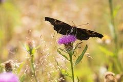 Europejski Pawiego motyla Aglais io karmienie Zdjęcia Royalty Free