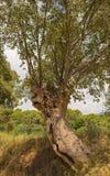 Europejski Pokrzywowy drzewo Fotografia Stock
