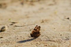 Europejski Pospolity Pawi czerwony motyl, Aglais io, Inachis io na ziemi, skrzydła rozprzestrzeniający otwiera Obraz Royalty Free