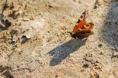Europejski Pospolity Pawi czerwony motyl, Aglais io, Inachis io na ziemi, skrzydła rozprzestrzeniający otwiera Zdjęcia Stock