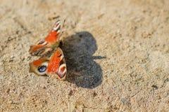 Europejski Pospolity Pawi czerwony motyl, Aglais io, Inachis io na ziemi, skrzydła rozprzestrzeniający otwiera Zdjęcia Royalty Free