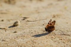 Europejski Pospolity Pawi czerwony motyl, Aglais io, Inachis io na ziemi, skrzydła rozprzestrzeniający otwiera Obrazy Royalty Free