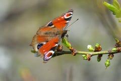 Europejski Pospolity Pawi motyl Aglais io, Inachis io Obraz Royalty Free