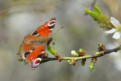 Europejski Pospolity Pawi motyl Aglais io, Inachis io Zdjęcie Stock