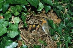 Europejski rudzik przy gniazdowymi żywieniowymi kurczątkami Fotografia Royalty Free