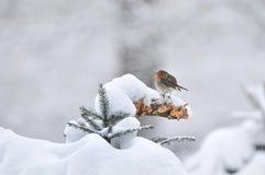 Europejski rudzik w zimie zdjęcie royalty free