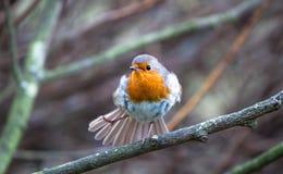 Europejski rudzika Erithacus rubecula w Anglia obraz stock
