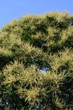 Europejski Słodki kasztan (Castanea sativa) Zdjęcie Royalty Free