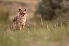 Europejski szakal, Canis aureus moreoticus zdjęcie royalty free