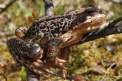 Europejski trawy żaby zbliżenie (Rana temporaria) Fotografia Royalty Free
