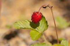 europejski truskawkowy dziki Obraz Royalty Free