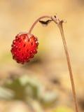 europejski truskawkowy dziki Fotografia Royalty Free