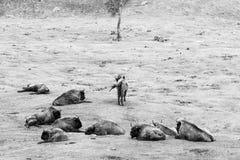 Europejski żubr lounging na trawiastych równinach, podczas gdy jeden samotny Fotografia Royalty Free
