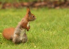 Europejski wiewiórczy obsiadanie na trawie (Sciurus) Obrazy Stock