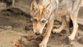 Europejski wilczy szczeniak fotografia stock