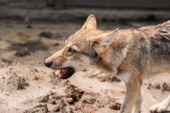 Europejski wilczy szczeniak Obraz Stock