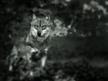 europejski wilk Obrazy Stock