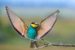 Europejski zjadacz z skrzydłami szeroko rozpościerać Obraz Stock