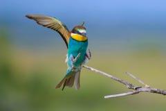 Europejski zjadacz z skrzydłami szeroko rozpościerać Obraz Royalty Free