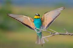 Europejski zjadacz z skrzydłami szeroko rozpościerać Zdjęcia Royalty Free