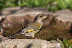 Europejskiego greenfinch żeński ptak Obrazy Stock
