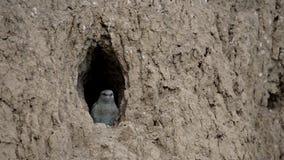 Europejskiego rolownika ptasi kurczątko przygotowywa latać z gniazdeczka zbiory