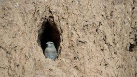 Europejskiego rolownika ptasi kurczątko przygotowywa latać z gniazdeczka zbiory wideo