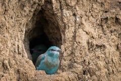 Europejskiego rolownika ptasi kurcz?tko przygotowywa lata? z gniazdeczka obrazy royalty free
