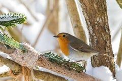 Europejskiego rudzika redbreast ptasi tyczenie blisko domowej roboty ptasiego dozownika Zdjęcia Stock