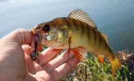 Europejskiej żerdzi ryba Zdjęcia Royalty Free