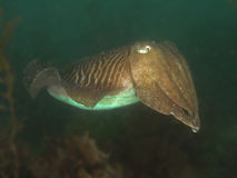 Europen Cuttlefish Royalty Free Stock Photography