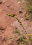 Europeo Beewolf sul gambo dell'erba Fotografia Stock Libera da Diritti
