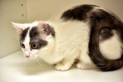 Europeo bianco e grigio del gatto Immagini Stock
