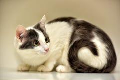 Europeo bianco e grigio del gatto Immagine Stock Libera da Diritti