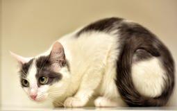 Europeo bianco e grigio del gatto Fotografia Stock Libera da Diritti