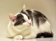 Europeo bianco e grigio del gatto Fotografia Stock